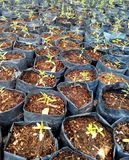 Brotar de semeação da mola fotografia de stock