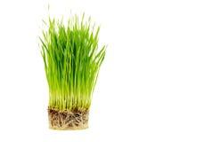 Brotar wheatgrass com a raiz isolada no fundo branco Foto de Stock Royalty Free