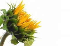 Brote amarillo del girasol imágenes de archivo libres de regalías