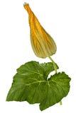 Brote amarillo hermoso de la calabaza, aislado en el fondo blanco Fotografía de archivo libre de regalías
