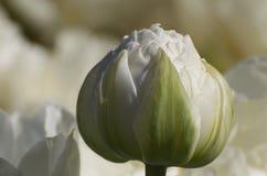 Brote blanco del Paeonia Foto de archivo libre de regalías
