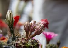 Brote cerrado de las flores del cactus fotos de archivo
