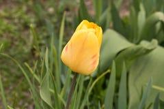 Brote cerrado del tulip?n El concepto de primavera Cierre para arriba fotos de archivo