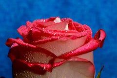 brote color de rosa Fotografía de archivo libre de regalías