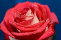 brote color de rosa Imágenes de archivo libres de regalías
