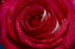 Brote color de rosa del primer Imagen de archivo libre de regalías