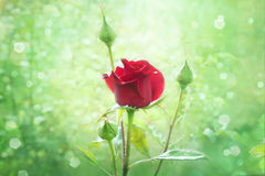 Brote color de rosa del rojo en jardín Fotografía de archivo