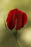 Brote color de rosa del solo rojo Imagen de archivo