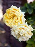 Brote color de rosa del té amarillo, primer de los pétalos imágenes de archivo libres de regalías
