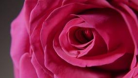 Brote color de rosa rosado grande en macro metrajes
