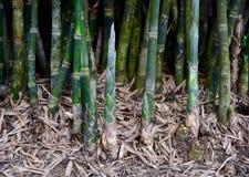 Brote de bambú Imagen de archivo