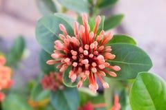 Brote de flor anaranjado de Ixora que florece en la floración fotografía de archivo