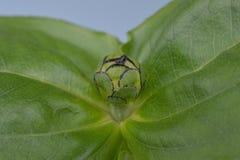 Brote de flor cerrado del Zinnia Fotografía de archivo libre de regalías