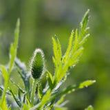 Brote de flor de la amapola del primer con descensos de rocío Imagen de archivo