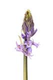 Brote de flor de la campanilla imagenes de archivo