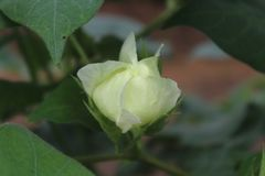 Brote de flor del algodón con simetría perfecta foto de archivo libre de regalías