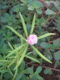 brote de flor del escorpión foto de archivo libre de regalías