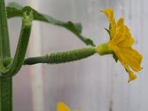 Brote de flor del pepino Flor grande amarilla Olericulture imagenes de archivo