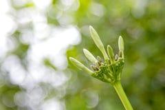 Brote de flor del Plumeria con el fondo verde del bokeh imagen de archivo libre de regalías