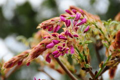 Brote de flor japonés de la glicinia Imagenes de archivo