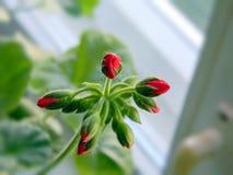 Brote de flor rojo del geranio Imagen de archivo