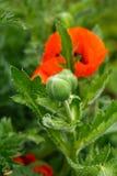 Brote de flor rojo de la amapola con las hojas verdes en el fondo en jardín del verano foto de archivo libre de regalías