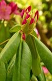 Brote de flor rosado del rododendro Imagenes de archivo