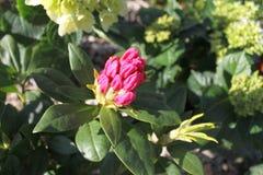 Brote de flor rosado del rododendro en un arbusto Imágenes de archivo libres de regalías