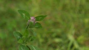 Brote de flor salvaje rosado en oscilaciones de la hierba verde del viento en primavera en un primer borroso del fondo naturaleza almacen de video