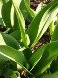 Brote de hojas verde del tulipán imagen de archivo