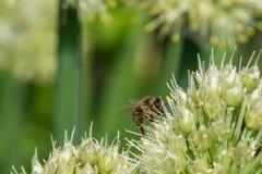 Brote de la abeja de la flor de la cebolla Foto de archivo