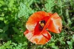 Brote de la amapola con el abejorro en el fondo de la hierba verde Imagen de archivo