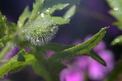 Brote de la amapola con gotas de lluvia en la sol foto de archivo