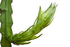 Brote de la fruta del dragón en un árbol Foto de archivo