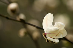 Brote de la magnolia Fotos de archivo