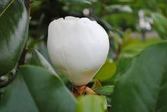 Brote de la magnolia que se prepara para abrirse fotos de archivo