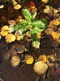 Brote de la mala hierba Fotografía de archivo