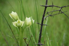 Brote de la orquídea de mariposa Fotos de archivo libres de regalías