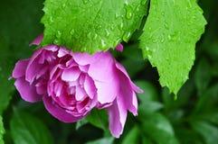 Brote de la peonía en la lluvia de los descensos Foto de archivo libre de regalías