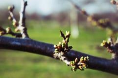 Brote de la primavera en la rama Fotos de archivo