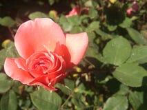 Brote de la rosa del rosa en la izquierda Imagen de archivo libre de regalías