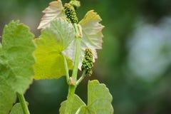 Brote de la vid con el manojo de uvas joven Fotos de archivo