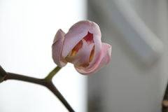 Brote de las flores de la orquídea Fotos de archivo
