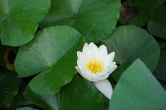 Brote de Lotus Imagen de archivo libre de regalías