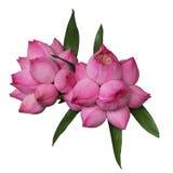 Brote de Lotus con las gotitas de agua imagen de archivo libre de regalías