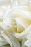Brote de Rose blanca Primer Imagen de archivo