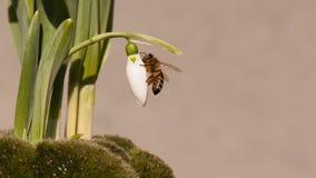Brote de Snowdrop con la abeja de la miel Imágenes de archivo libres de regalías