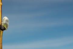 Brote de un gatito-sauce en fondo del cielo Foto de archivo