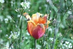 Brote de un tulipán Imagenes de archivo