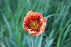 Brote de un tulipán Imagen de archivo libre de regalías